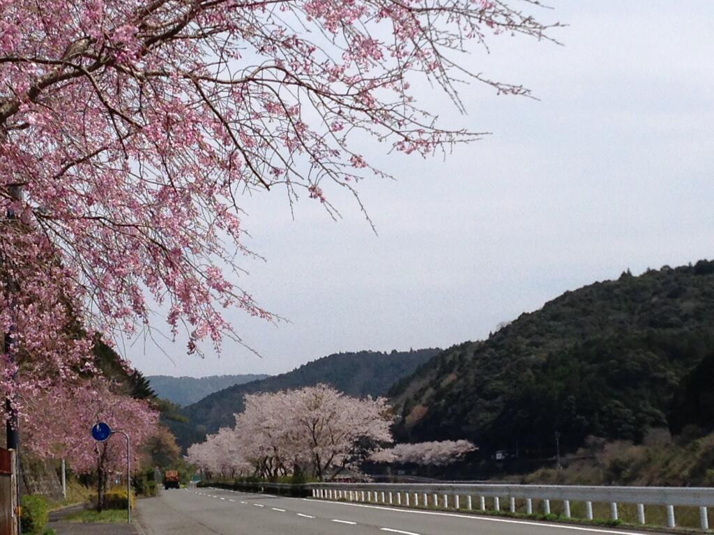 予土線打井川駅近くの桜