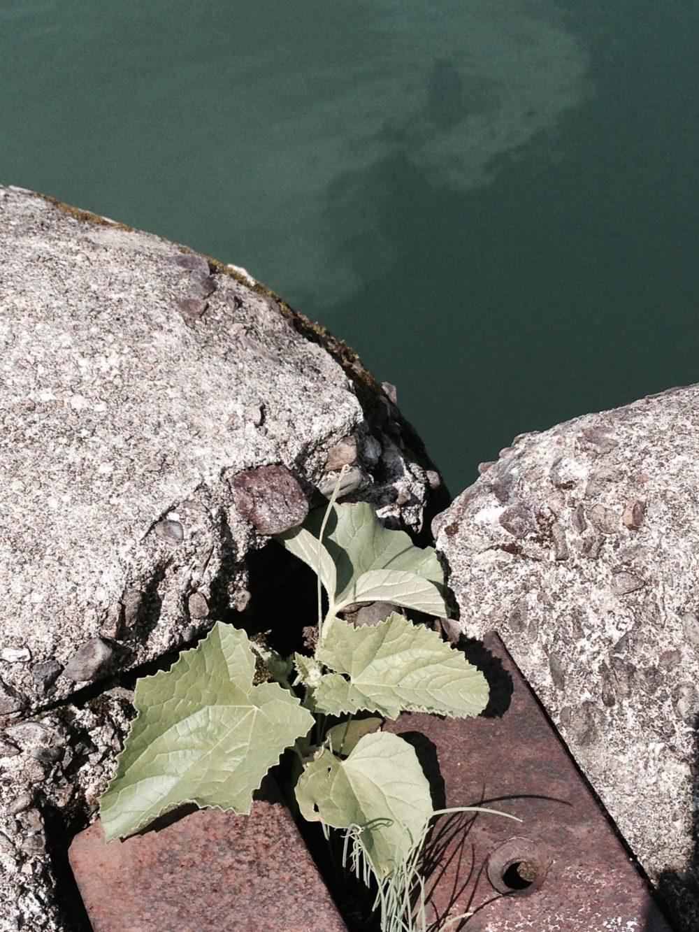 コンクリート製の橋に根付くきゅうりの苗