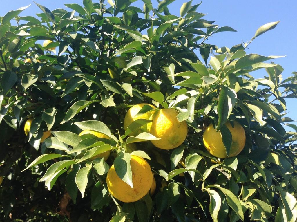 木に実る柚子