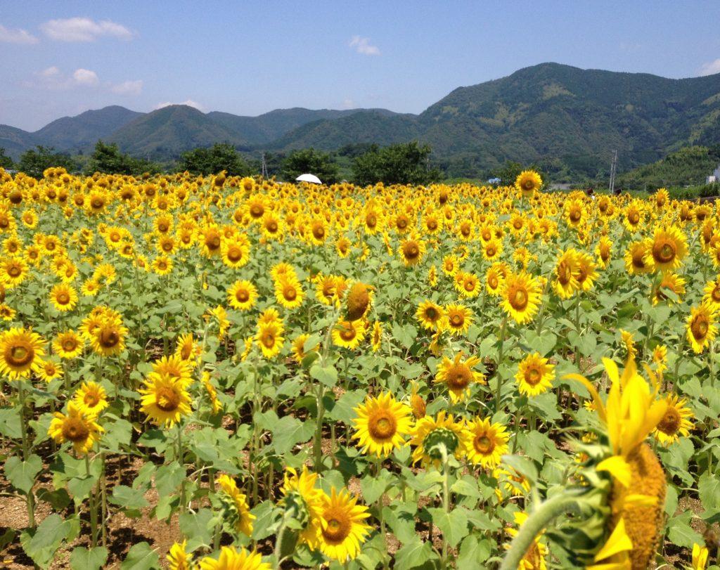 高知 土佐市のひまわり畑