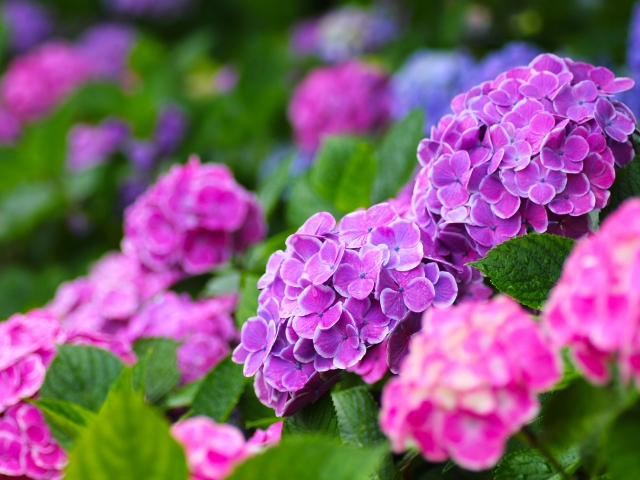 赤と紫のあじさい