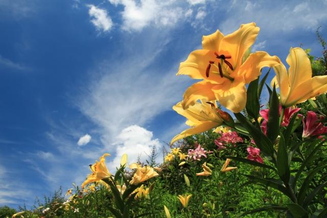 青い空とユリの花